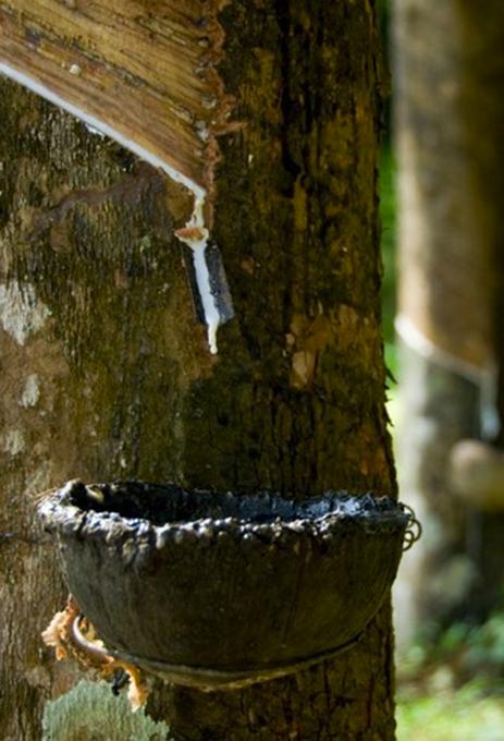 Latex naturel liquide extrait de l'Hévéa Brasiliensis
